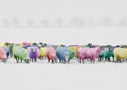 sheep-1476781_1280